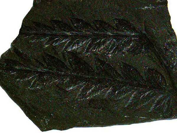 Возраст угля определяют по содержащимся остаткам растительности. Иногда отпечатки очень четкие